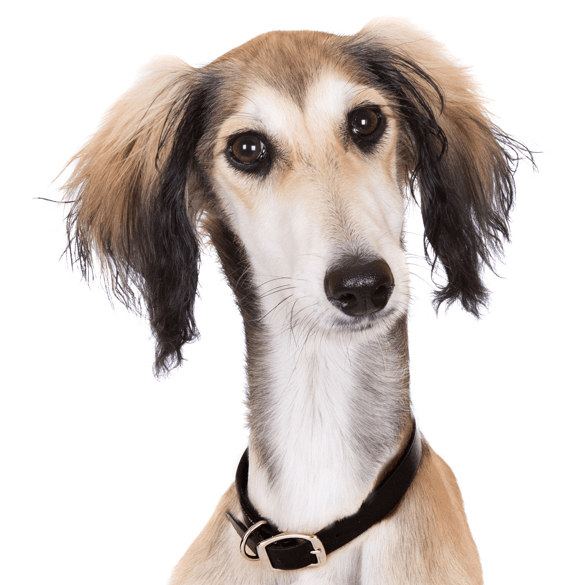Afghan Hound Puppies for Sale - Adoptapet com