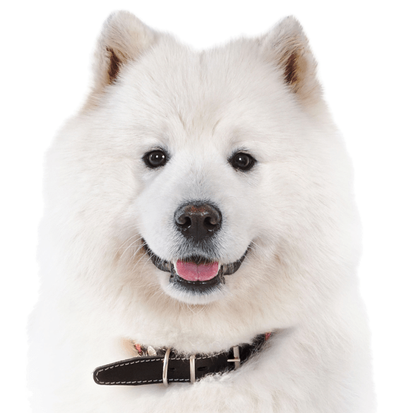 Samoyed Puppies for Sale - Adoptapet com