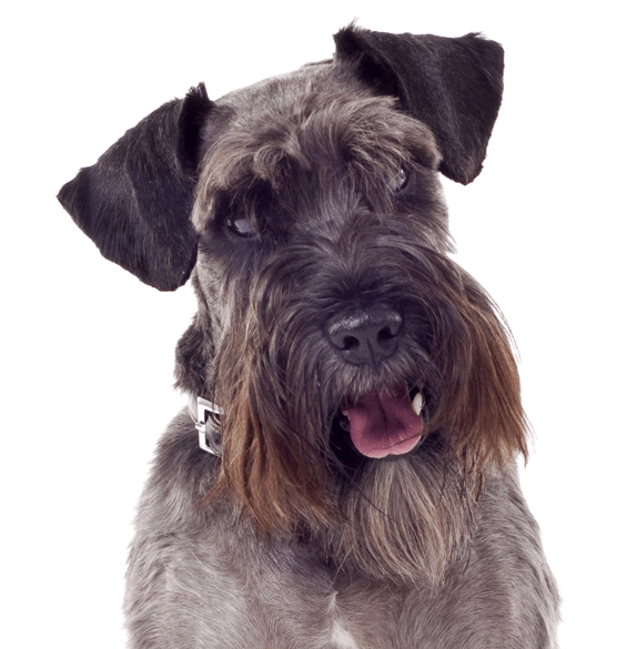 Schnauzer Standard Puppies For