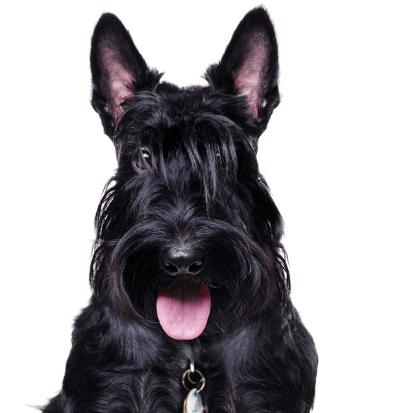 Scottie Scottish Terrier Puppies For Sale Adoptapet Com