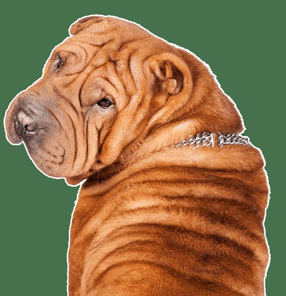Shar Pei Puppies Dogs
