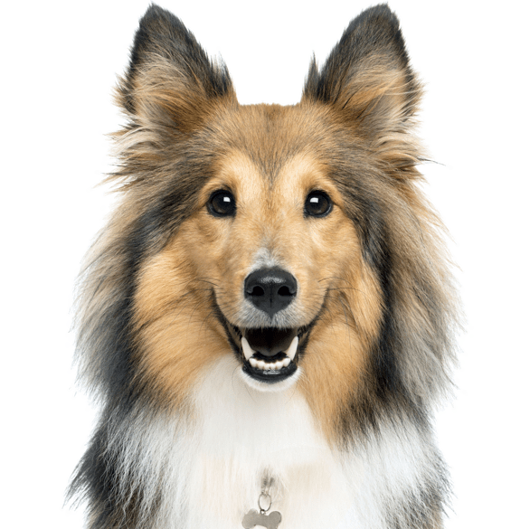 Sheltie Shetland Sheepdog Puppies For