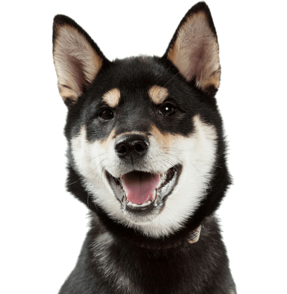 Shiba Inu Puppies for Sale - Adoptapet com