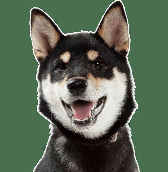 Shiba Inu Puppies Dogs
