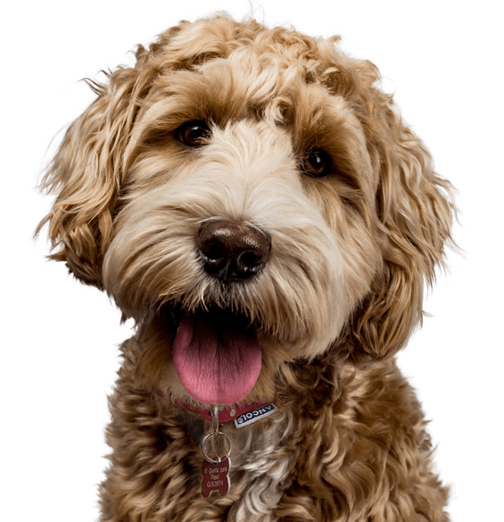 Labradoodle Puppies Dogs