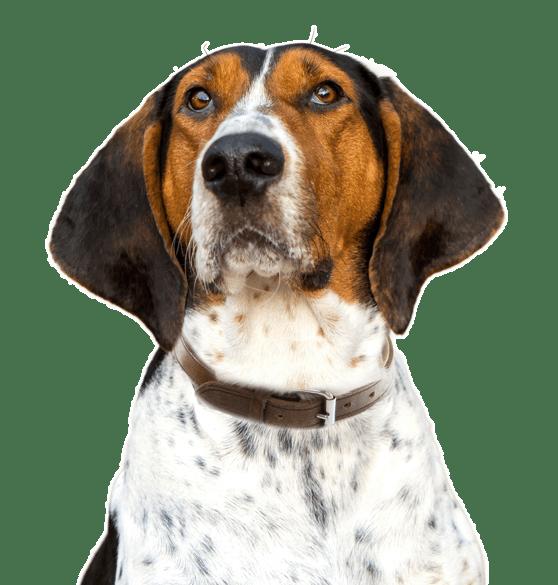 Treeing Walker Coonhound Puppies for Sale - Adoptapet com