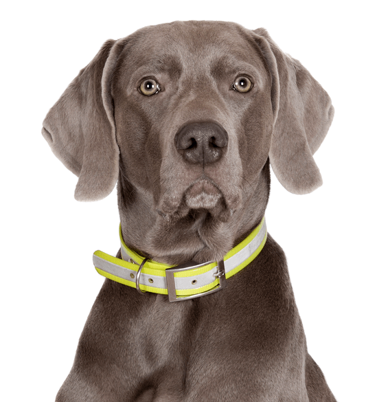 Weimaraner Puppies for Sale - Adoptapet com
