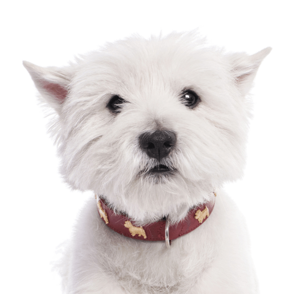 Westie, West Highland White Terrier Puppies for Sale