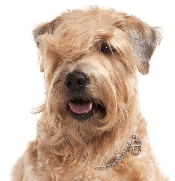 Wheaten Terrier Puppies For Sale Adoptapet Com