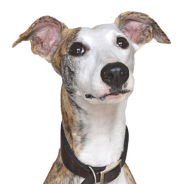 Whippet Puppies For Sale Adoptapet Com