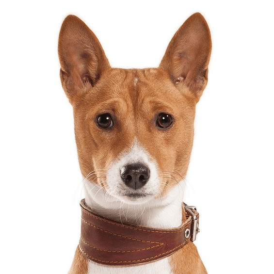 Basenji Puppies for Sale - Adoptapet com