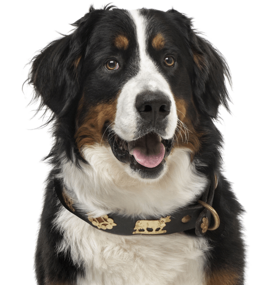 Bernese Mountain Dog Puppies For
