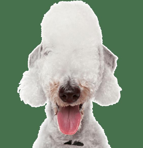 Poodle Miniature Puppies For Sale Adoptapet Com