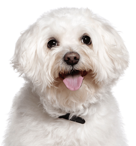 Bichon Frise Puppies for Sale - Adoptapet com