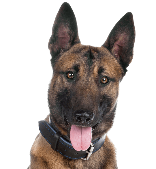 Belgian Malinois Puppies for Sale - Adoptapet com