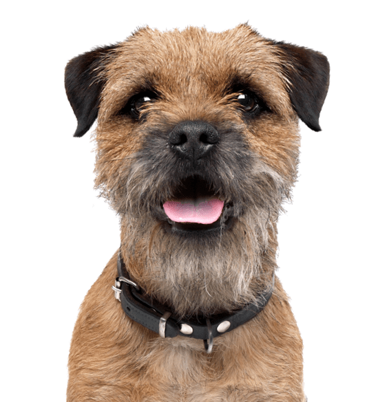 Norwich Terrier Puppies for Sale - Adoptapet com