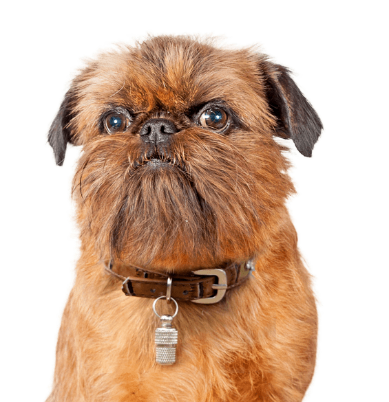 Brussels Griffon Puppies For