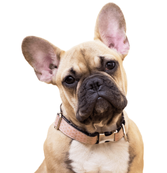 French Bulldog Puppies For