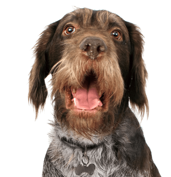 German Wirehaired Pointer Puppies For Adoptapet