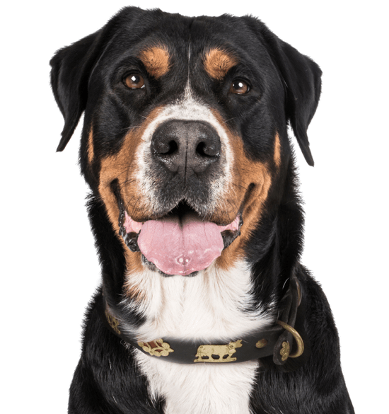 Greater Swiss Mountain Dog Puppies For Sale Adoptapetcom
