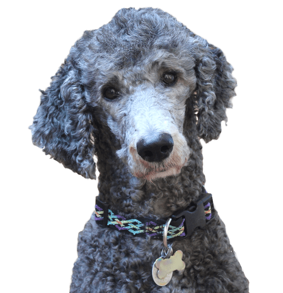 Poodle Standard Puppies For Sale Adoptapetcom