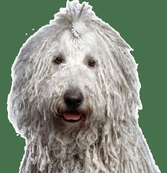 Komondor Puppies For Sale Adoptapet Com