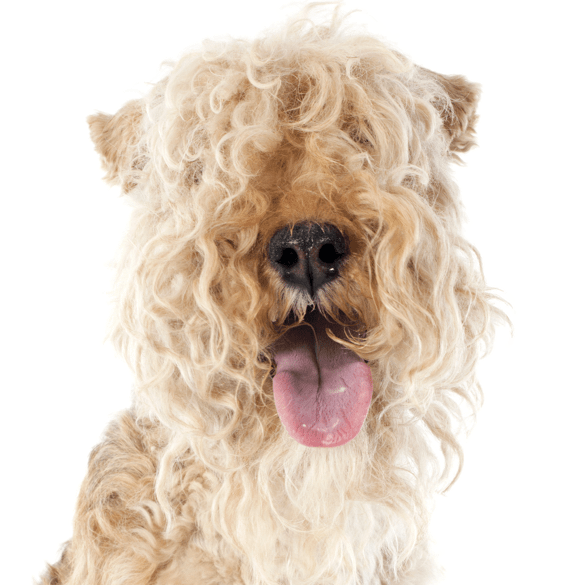 Airedale Terrier Puppies Dogs