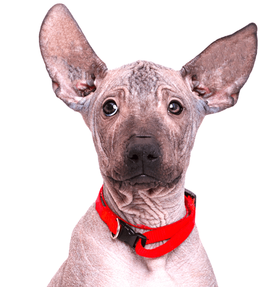 American Hairless Terrier Puppies For Sale Adoptapet Com