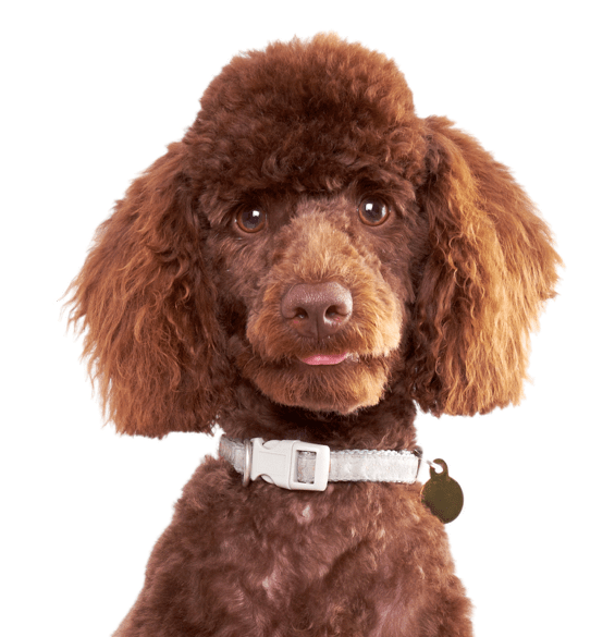 Goldendoodle Puppies for Sale - Adoptapet com