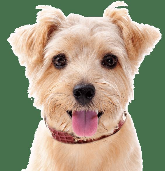 Norfolk Terrier Puppies for Sale - Adoptapet com