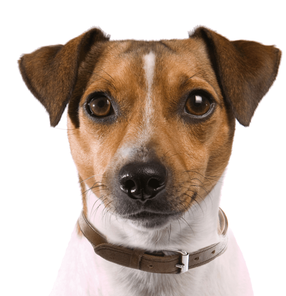 Rat Terrier Puppies for Sale - Adoptapet com