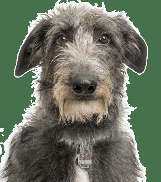 Scottish Deerhound Puppies For Sale Adoptapetcom