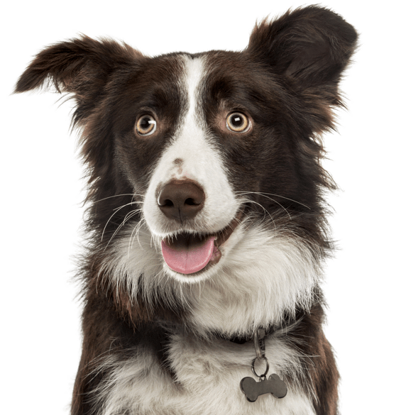 Border Collie Puppies for Sale - Adoptapet com