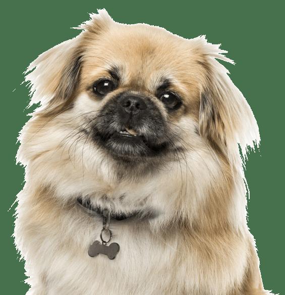 Tibetan Spaniel Puppies For Sale Adoptapet Com