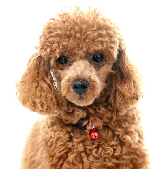 Poodle (Toy or Tea Cup) Puppies for Sale - Adoptapet com