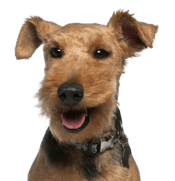 Welsh Terrier Puppies for Sale - Adoptapet com
