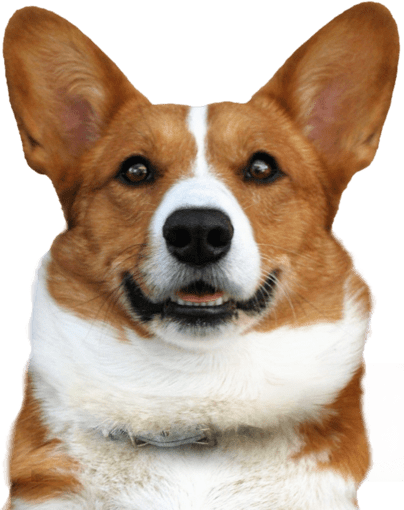 Corgi Puppies For Sale Adoptapet Com