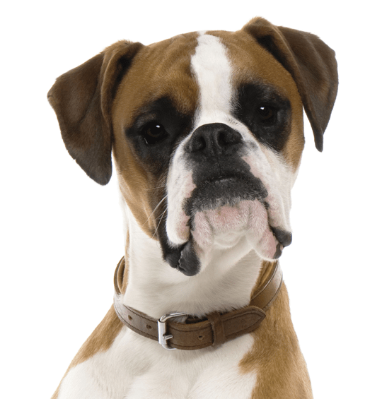 Boxer Puppies for Sale - Adoptapet com