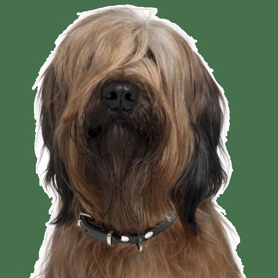 Briard Puppies For Adoptapet