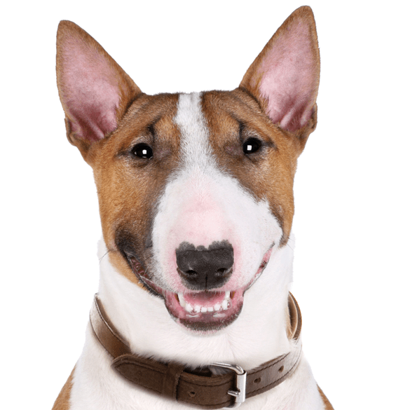 Bull Terrier Puppies For Sale Adoptapet Com