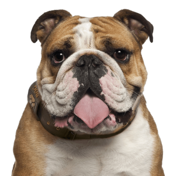 English Bulldog Puppies For