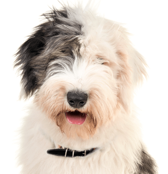 Old English Sheepdog Puppies for Sale - Adoptapet com
