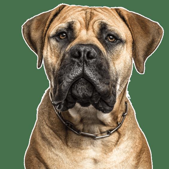 Neapolitan Mastiff Puppies For Sale Adoptapet Com