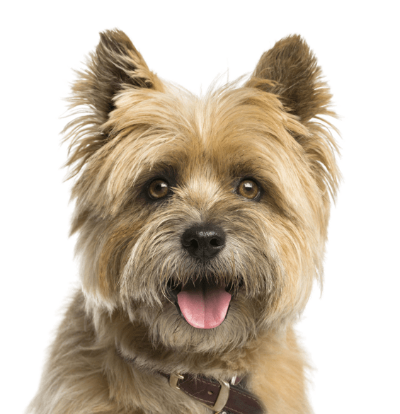 Cairn Terrier Puppies for Sale - Adoptapet com