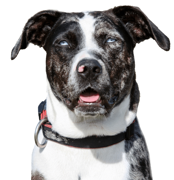 Rhodesian Ridgeback Puppies For Sale Adoptapet Com