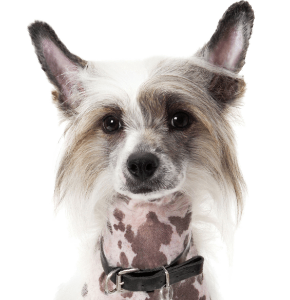 Chinese Crested Puppies for Sale - Adoptapet com