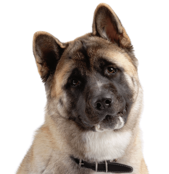Akita Puppies for Sale - Adoptapet com