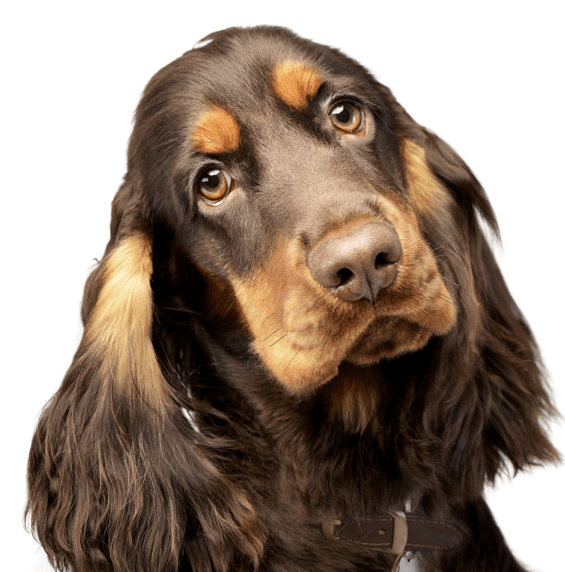 English Springer Spaniel Puppies for Sale - Adoptapet com