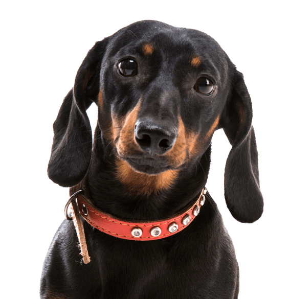 Dachshund Puppies for Sale - Adoptapet com