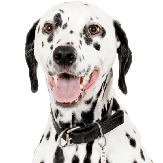 Dalmatian Puppies Dogs